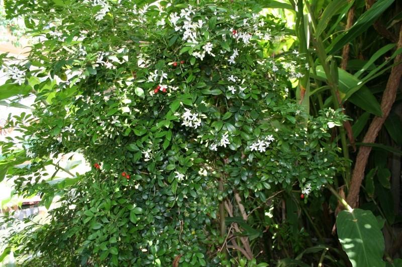 Murraya paniculata - bois-jasmin Murray13