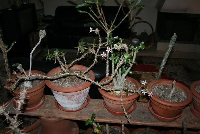Pachypodium Pachyp14