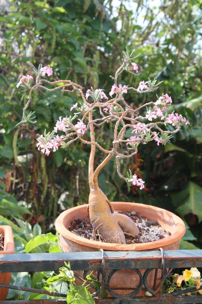 Pachypodium succulentum Pachyp15