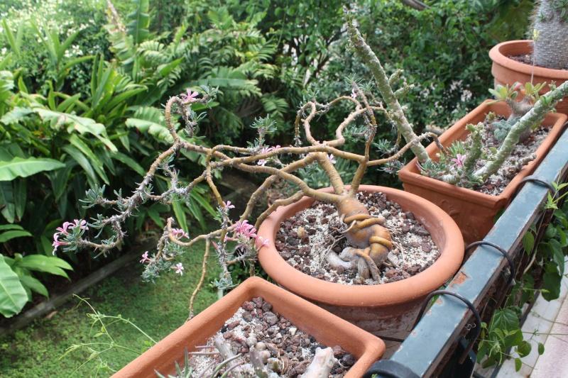 Pachypodium succulentum Pachyp16