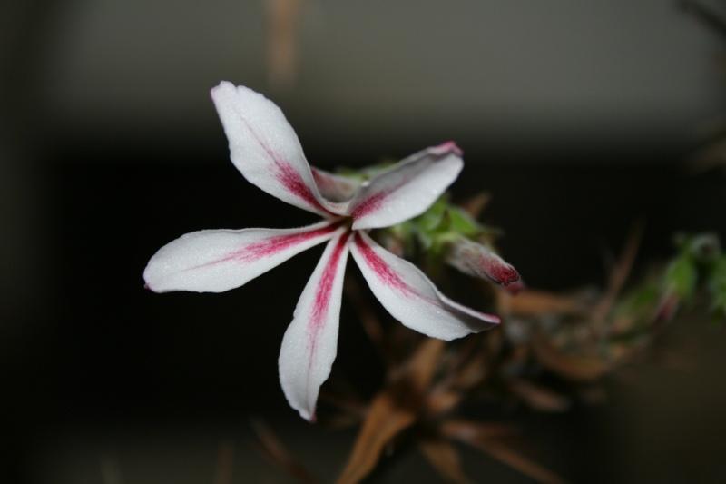 Pachypodium succulentum Pachyp18
