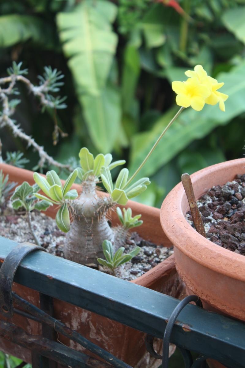 Pachypodium rosulatum Pachyp23
