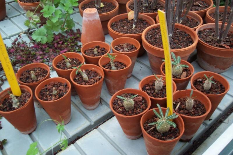 Pachypodium rosulatum Pachyp24