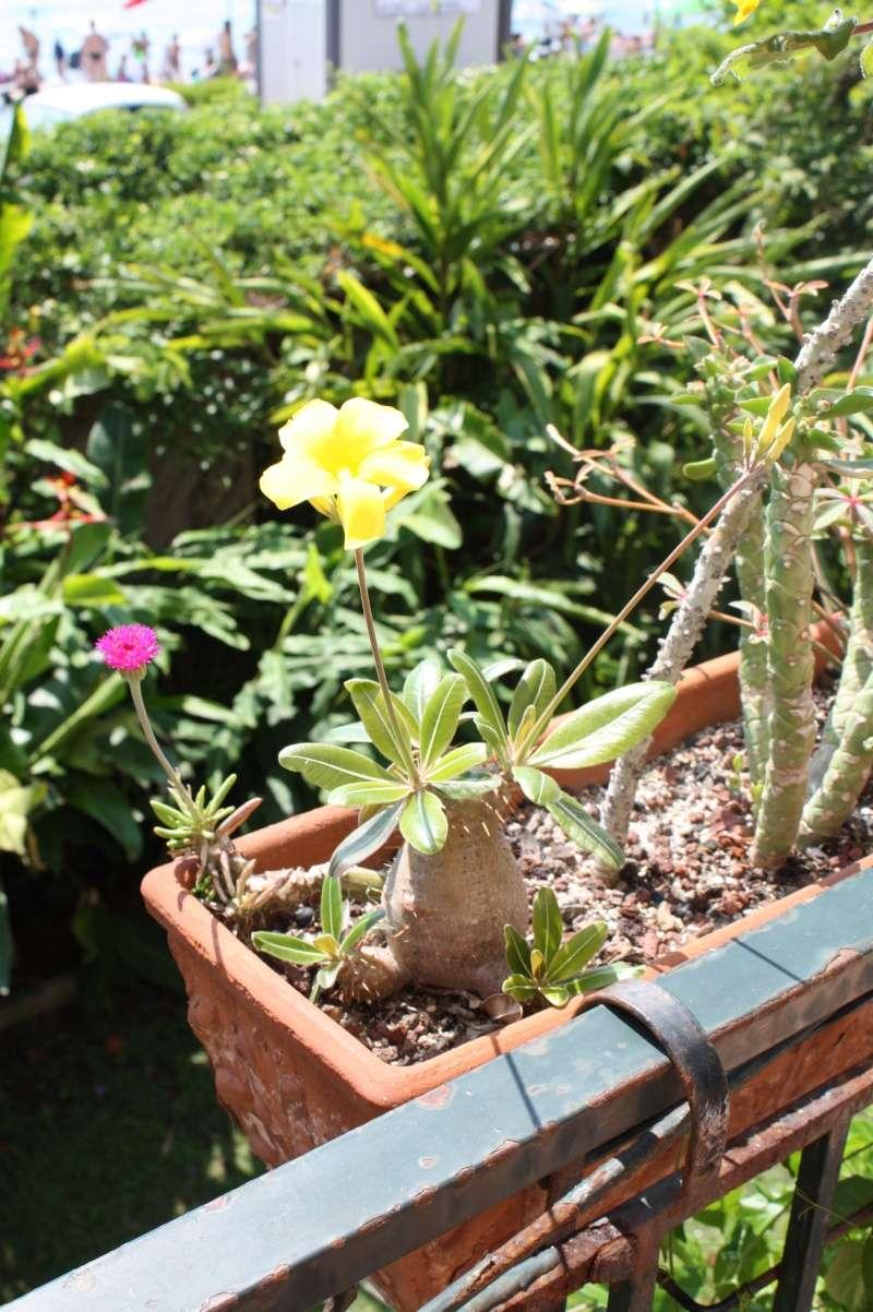 Pachypodium rosulatum Pachyp25