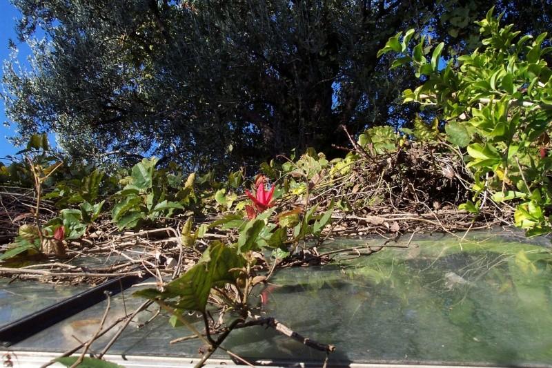 passiflores : nos floraisons [verrouillé] - Page 2 Passif22
