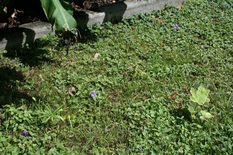 Ruellia squarrosa - ruellia rampante Pelous10