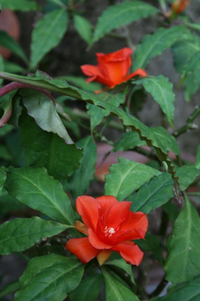 Encore des fleurs que j'aime bien: Peresk14