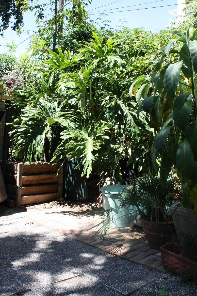 Philodendron bipinnatifidum - selloum Philod11