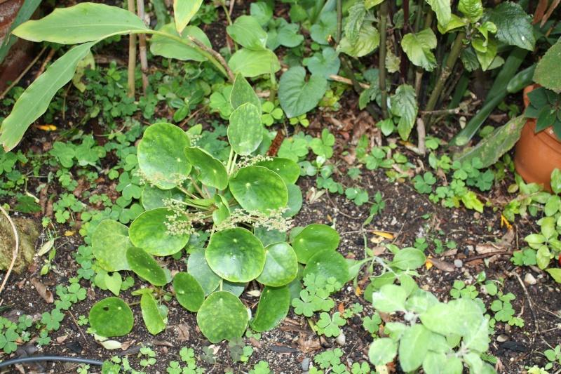 Pilea peperomioides Pilea_11