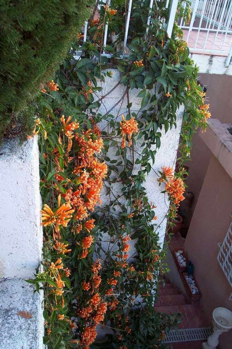 Thunbergia grandiflora Pyrost10