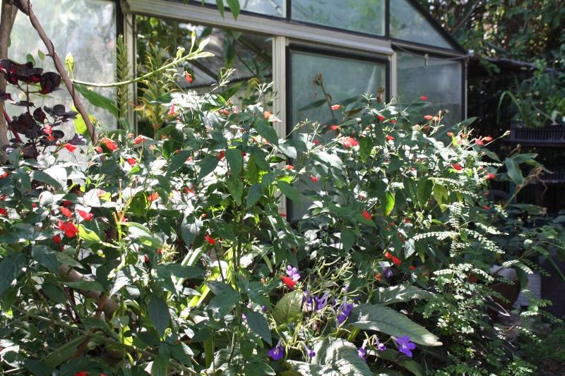 Ruellia brevifolia (= graecizans) Ruelli14
