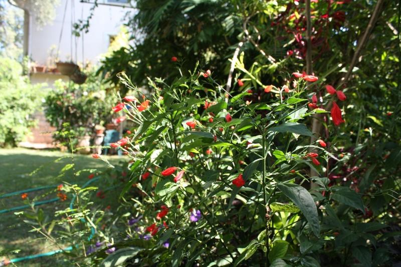 Ruellia brevifolia (= graecizans) Ruelli15