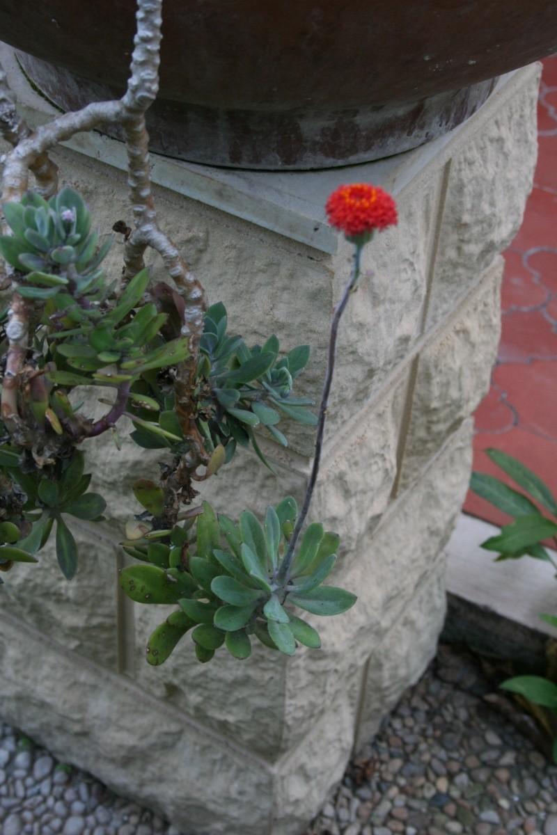 Encore des fleurs que j'aime bien: Seneci10