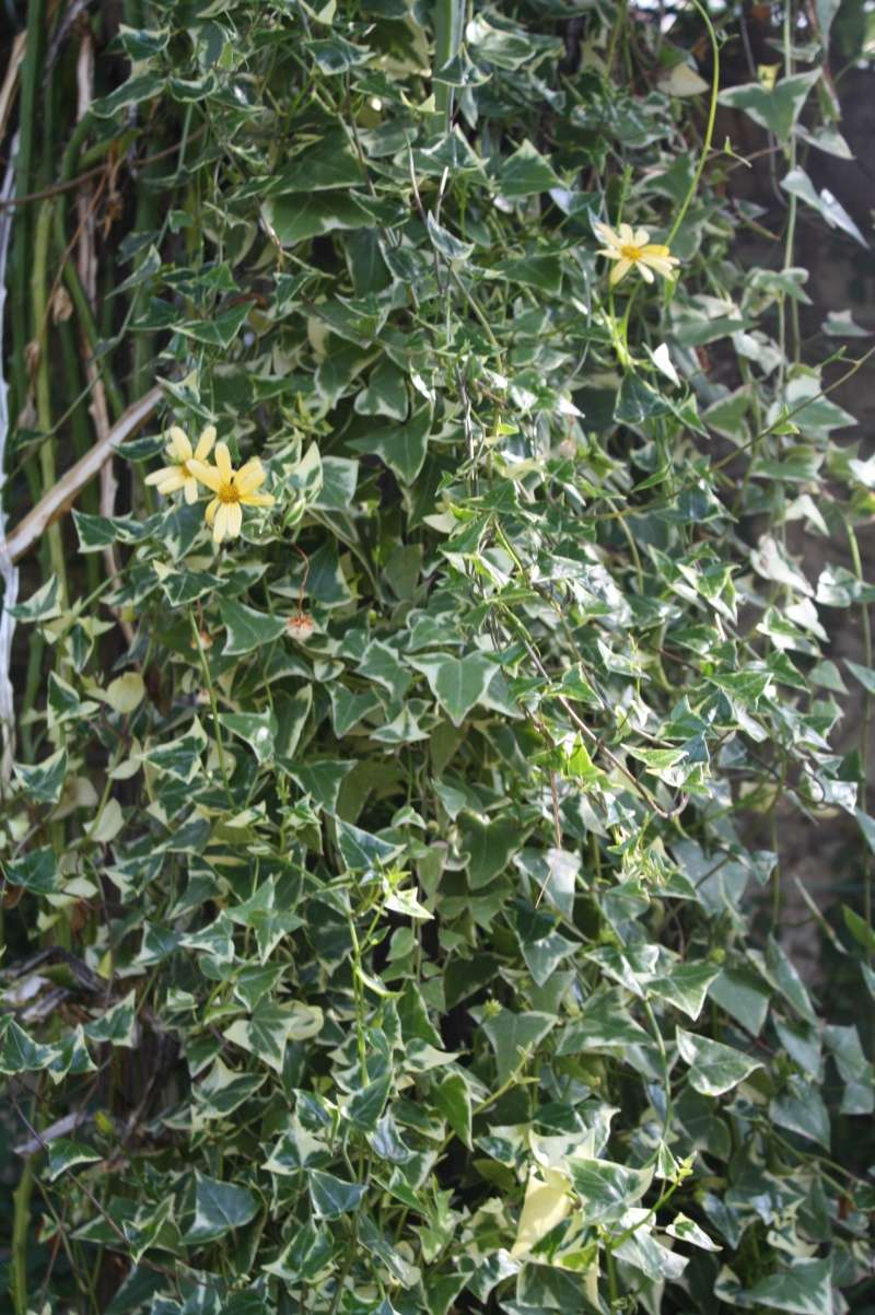 Senecio macroglossum variegata Seneci13