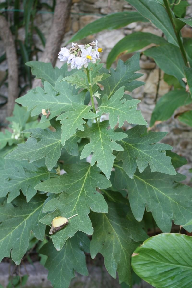 Solanum bonariense Solanu10
