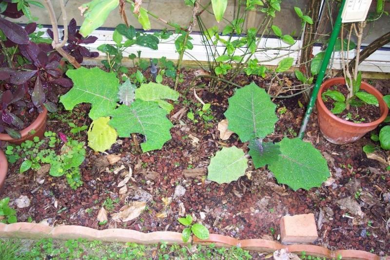 Solanum quitoense - lulo Solanu13
