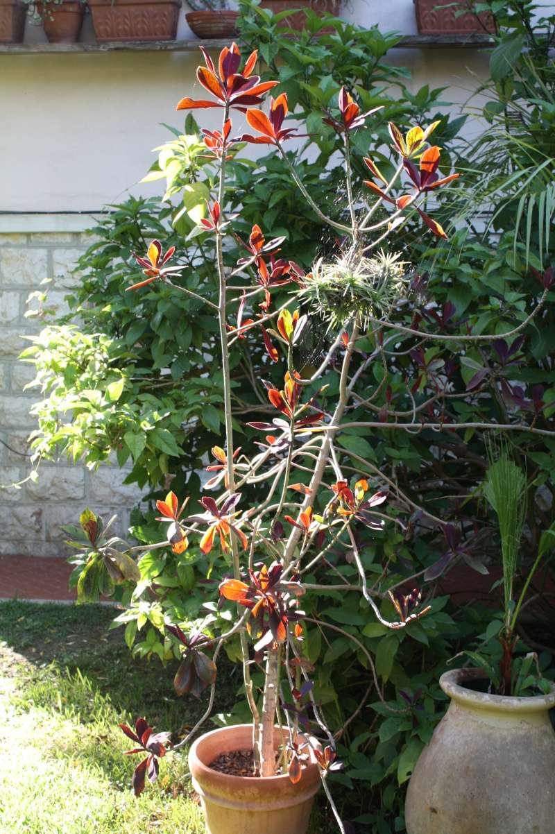 Euphorbia umbellata (= Synadenium umbellatum) Synade11