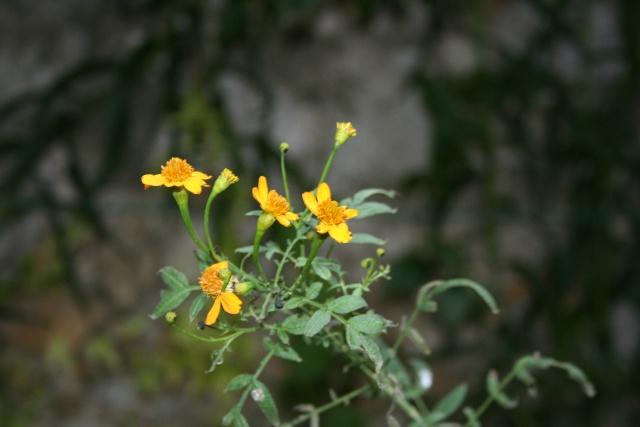 Quelques fleurs après la pluie Tagete10