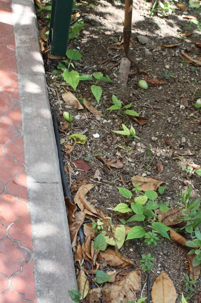Thunbergia grandiflora Thunbe14