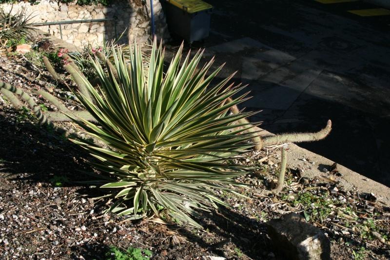 yucca aloifolia - Yucca aloifolia Yucca_14