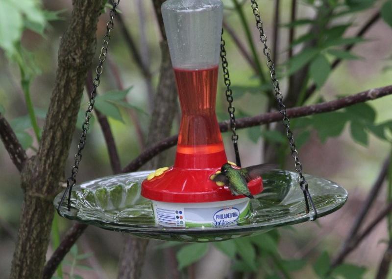 Matinée colibri ce matin Img_4112