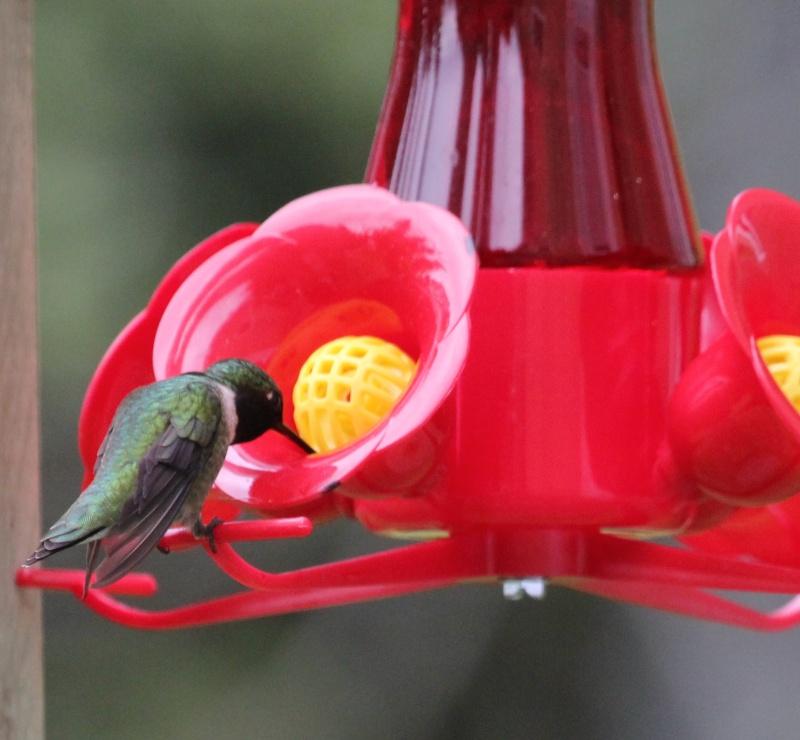 Matinée colibri ce matin Img_4113