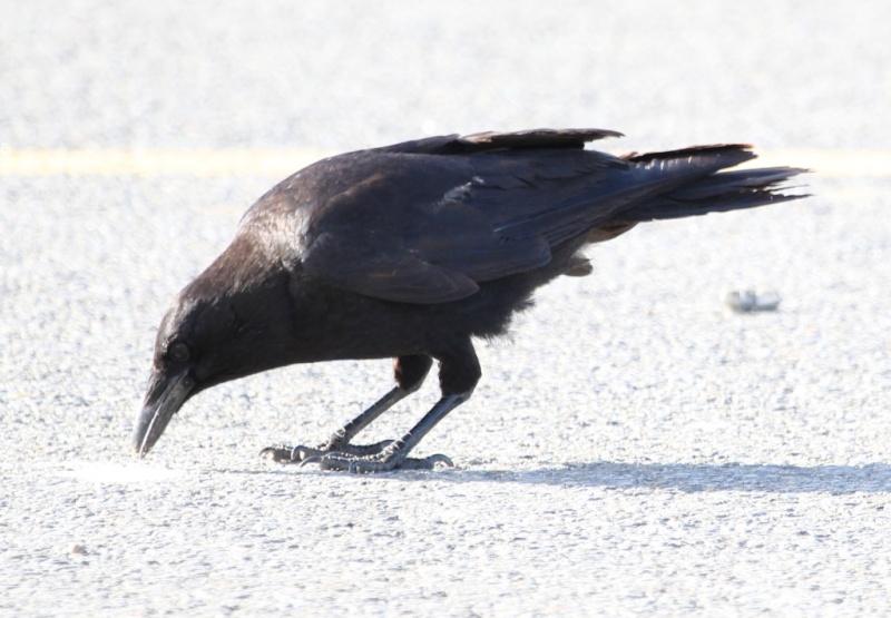corneille ou corbeau Img_4422
