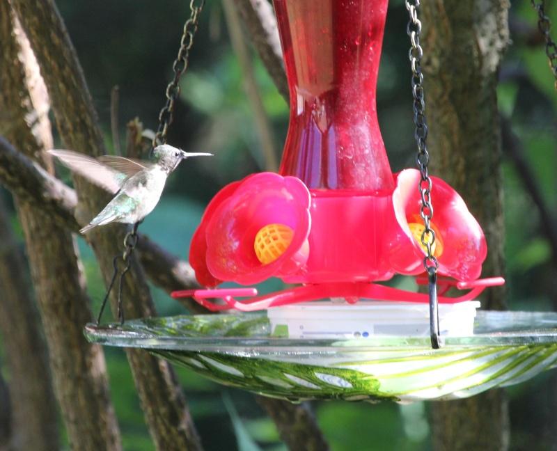 Drôle de petit colibri Img_6912