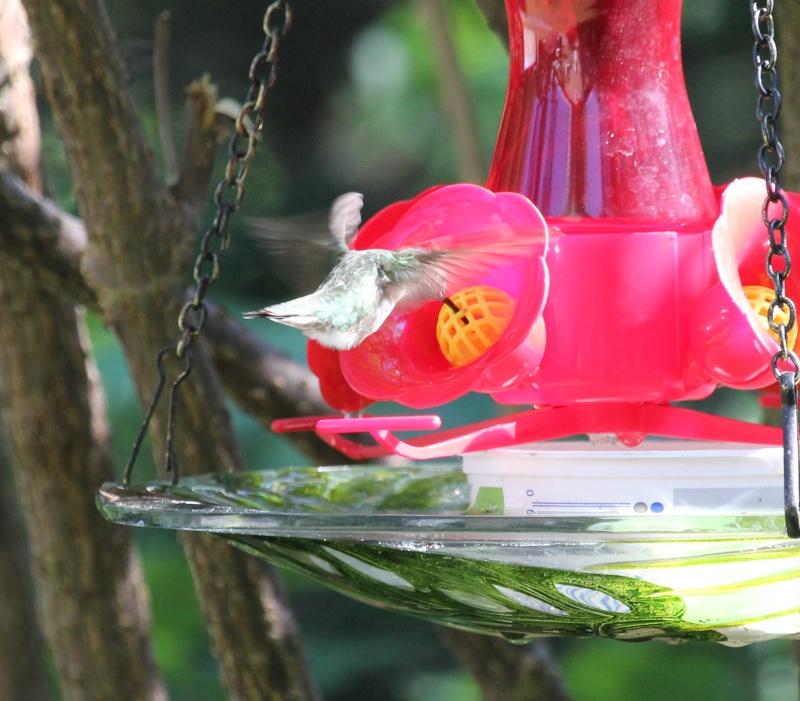 Drôle de petit colibri Img_6913