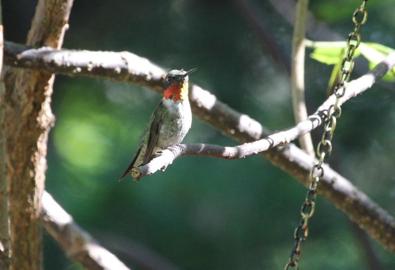 Drôle de petit colibri Img_6914