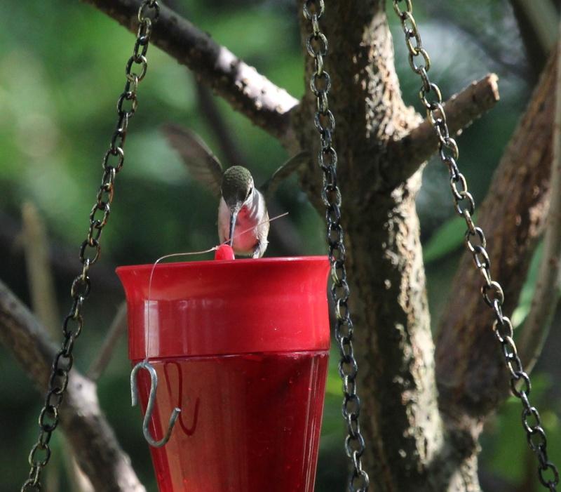 Drôle de petit colibri Img_7010