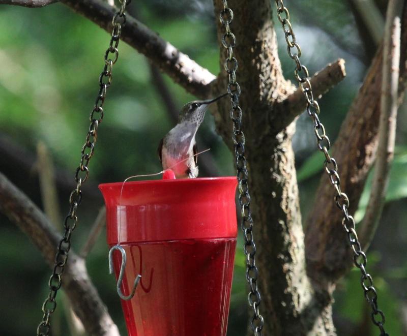 Drôle de petit colibri Img_7011