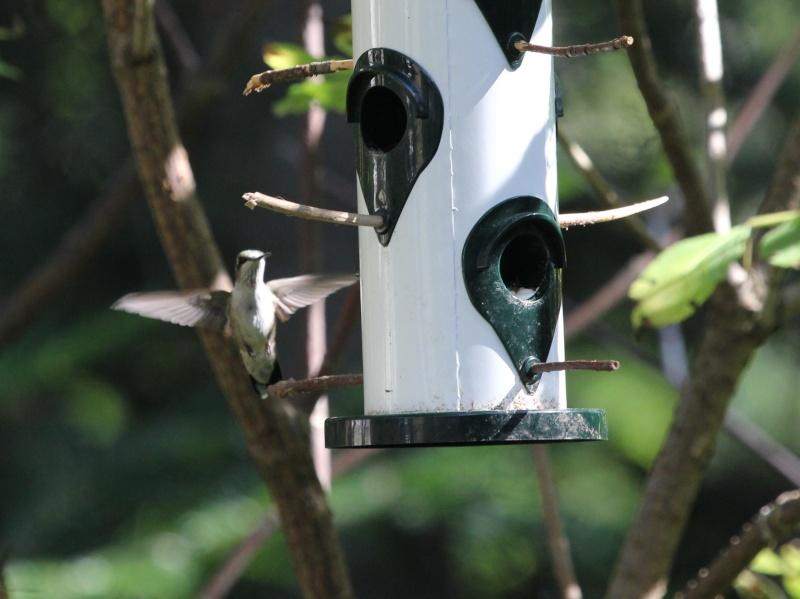 Drôle de petit colibri Img_7012