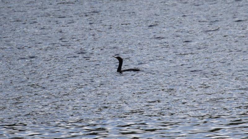Quel est cet oiseau aquatique? Img_7211