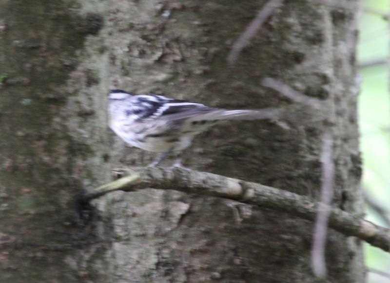 Qui est ce petit oiseau noir et blanc? Img_7212