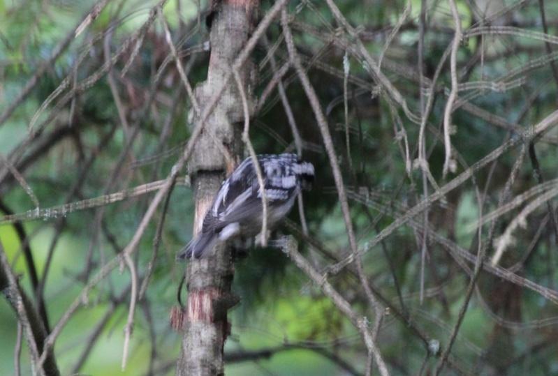 Qui est ce petit oiseau noir et blanc? Img_7213