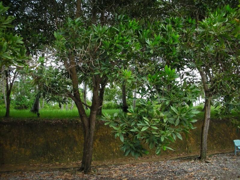 fruits en tortillon sur un arbre vu en Indonésie Dscn3410