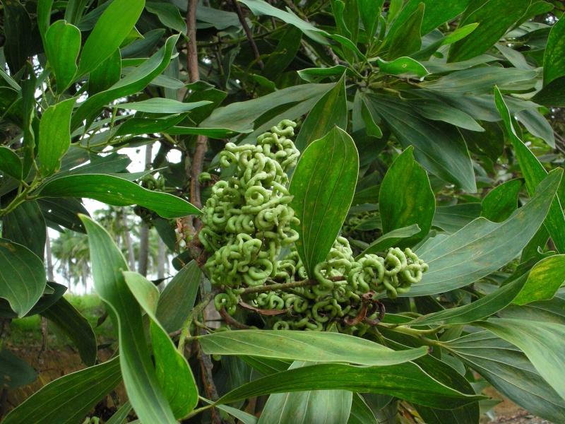 fruits en tortillon sur un arbre vu en Indonésie Dscn3411