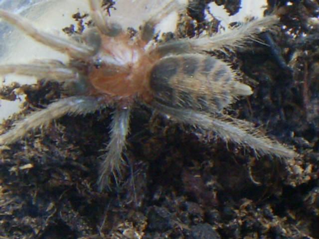 mes arachnides S4025016