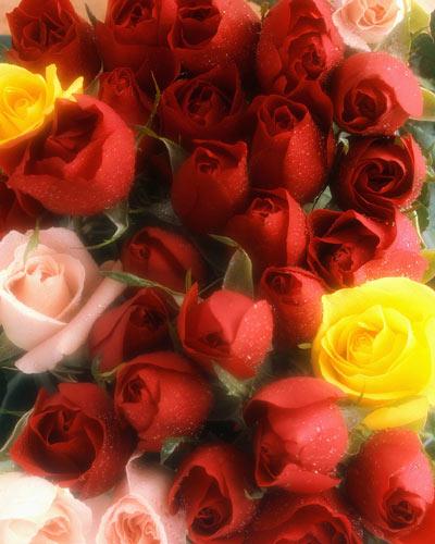 Les roses. - Page 7 C312310