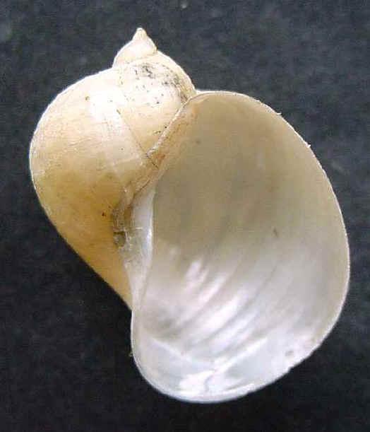 [résolu]Lymnaea stagnalis (L.1758), Radix auricularia (L.1758) Radix10
