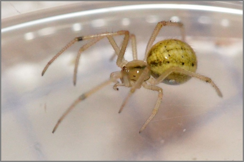 Araneidae : Araniella non [Theridiidae : Enoplognatha sp.] Araign10