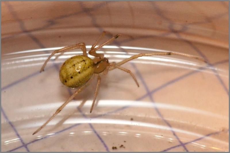 Araneidae : Araniella non [Theridiidae : Enoplognatha sp.] Araign11
