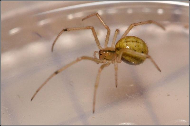 Araneidae : Araniella non [Theridiidae : Enoplognatha sp.] Araign13
