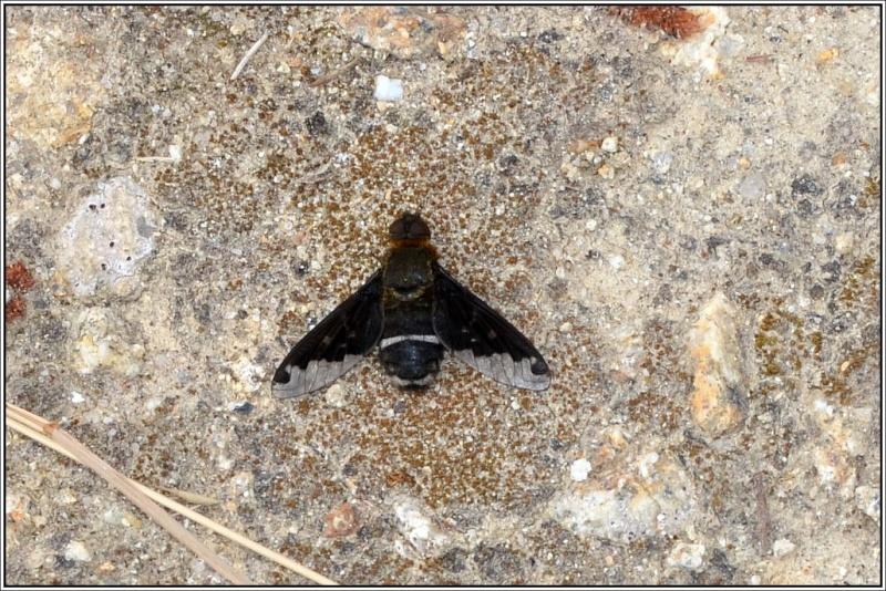 Bombyliidae [Hemipenthes velutina] Hemipe10