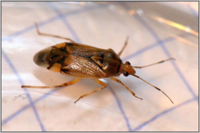Miride [Deraeocoris flavilinea] Punais11