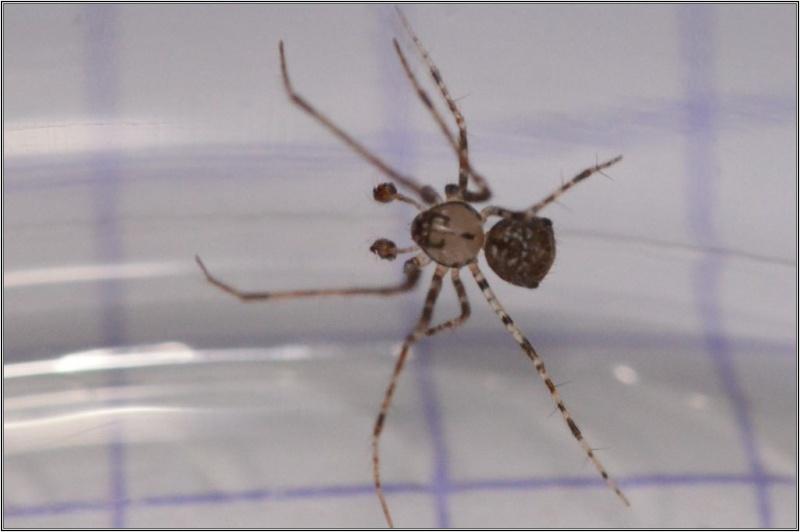 Episinus angulatus ? non [Ero aphana] Therid10