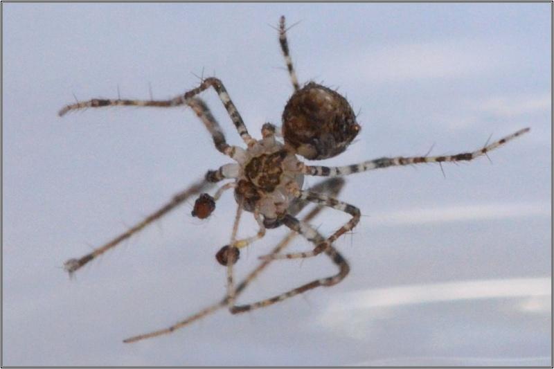 Episinus angulatus ? non [Ero aphana] Therid11