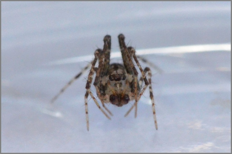 Episinus angulatus ? non [Ero aphana] Therid12