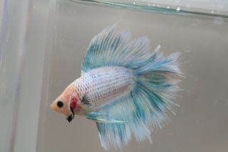 HMDT Cambodge papillon bleu/pastel Img_3910